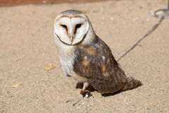 Barn owl (Tyto alba). Stock Photography