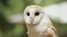 Barn owl (tyto alba) in the wildlife. stock video footage