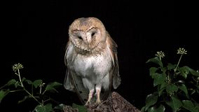 Barn Owl, tyto alba, Wings and Head Shaking, Normandy,