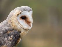 Barn owl up portrait Tyto alba Stock Photography