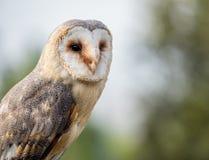 Barn owl up portrait Tyto alba Stock Photos