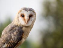 Barn owl up portrait Tyto alba Stock Images