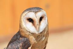 Barn owl. The upper body of barn owl Royalty Free Stock Photos