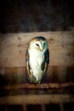 Barn owl vintage Royalty Free Stock Photos
