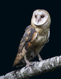 Barn Owl. This barn owl was one of the subjects on a Birds-of-Prey shoot Royalty Free Stock Photos