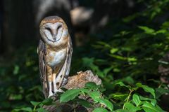 Barn owl watching from log in leafy woods Royalty Free Stock Photo