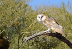 Barn Owl Watching. A barn owl is perched on a dead limb in the Sonoran Desert in Arizona Royalty Free Stock Photos