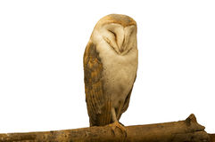 Barn Owl. A wild Barn Owl  is resting on a tree trunk Stock Images