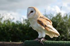 Barn Owl. In a wildlife park Stock Photos