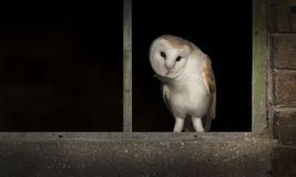Barn Owl in Window. A male Barn Owl in the empty window frame of a disused farm building Royalty Free Stock Images