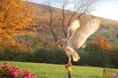Barn Owl wings open. Barn owl flapping wings on fall Stock Photo