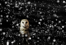 Barn owl winter portrait with dark and snow background Royalty Free Stock Photos