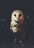 Barn owl winter portrait with dark and snow background Stock Images