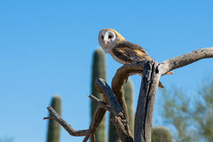 Barn owl on wooden branch Royalty Free Stock Photo