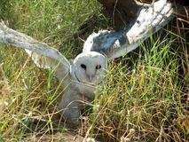 Barn owl. Young barn owl on the ground Royalty Free Stock Photography