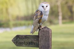 Barn owls Royalty Free Stock Photography