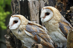 Barn owls. Closeup of a couple of barn owls Royalty Free Stock Images