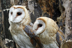 Barn owls Stock Photography