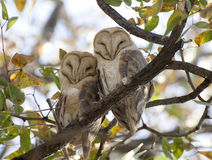 Barn owls Stock Photo