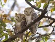 Barn owls. In Etosha National Park Namibia, Africa Stock Photo