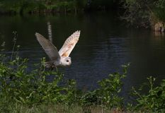 Barn owls family Tytonidae are one of the two families of owls