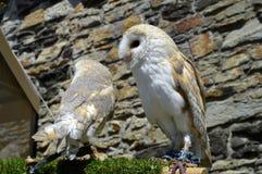 Barn owls Latin name Tyto alba. Two barn owls Latin name Tyto alba Stock Photography