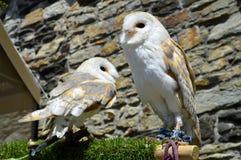 Barn owls Latin name Tyto alba Royalty Free Stock Photo