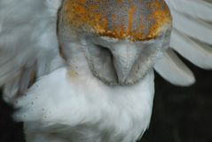 England- A Close Up of a Beautiful Wild Barn Owl Near Bedford stock photography