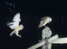 Barn owls perching on fence post Royalty Free Stock Images