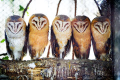 Barn owls on tree branch. A front view of five barn owls with characteristic heart shaped faces standing on a tree branch in the zoo Stock Photos