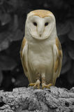 Barn Own. Barn owl purched on a log. Photo taken at Liberty's Raptor and Reptile Centre Stock Images