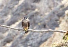 Barn Peregrine Falcon som sätta sig längs klippor royaltyfria foton