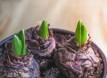 Barn planterar i händer Plantera lökformiga växter, tulpan, hyacinter Royaltyfri Foto