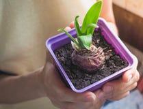 Barn planterar i händer Plantera lökformiga växter, tulpan, hyacinter Arkivbild