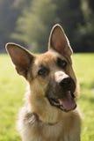Barn purebreed elsassisk hund i park Royaltyfria Foton