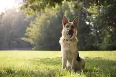 Barn purebreed elsassisk hund i park Fotografering för Bildbyråer