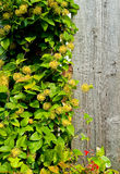 Barn siding with vine Stock Images