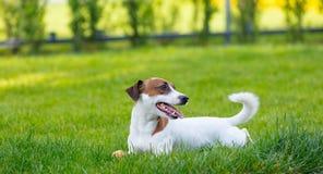 Barn slät-täckt Jack Russell Terrier hund royaltyfri foto