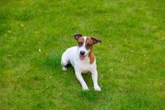 Barn slät-täckt Jack Russell Terrier hund royaltyfria foton