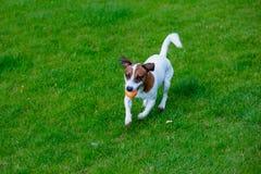 Barn slät-täckt Jack Russell Terrier hund arkivfoton
