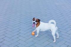 Barn slät-täckt Jack Russell Terrier hund arkivfoto