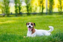 Barn slät-täckt Jack Russell Terrier hund arkivbilder