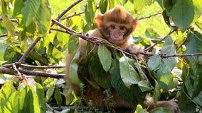 Barn som äter och skrapar den Barbary macaquen arkivfilmer