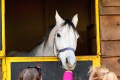Barn som matar den vita arabiska hästen Royaltyfria Bilder