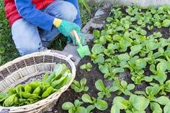 Barn som samlar sallad i den trädgårds- grönsaken Royaltyfri Bild