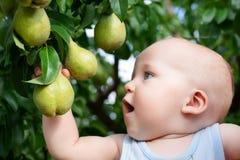 Barn som tar mogna päron på fruktträdgården i höst Pys som önskar att äta söt frukt från träd i trädgård på nedgångskörden fotografering för bildbyråer