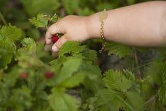 Barn som väljer en wild jordgubbe arkivbilder