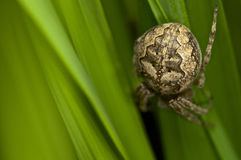 Barn spider trying to hide in the grass.  Stock Images