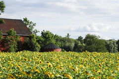 Barn and Sunflowers Stock Images