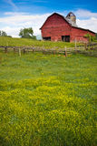 Barn surrounded by field of buttercups Royalty Free Stock Images